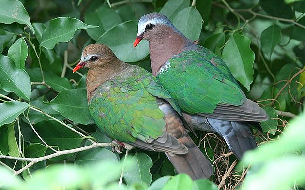 Birdwatching In Australia Orientale Con Ornitour
