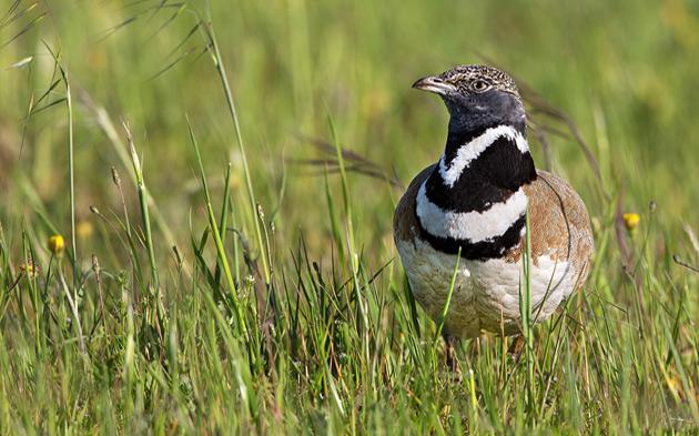 Gallina prataiola sarda (fonte: www.ornitour.it)